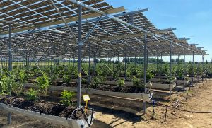 Brite Solar testing ground for blueberry cultivation in Broekhuizen